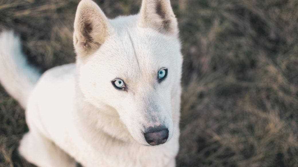カメラ目線の白い犬
