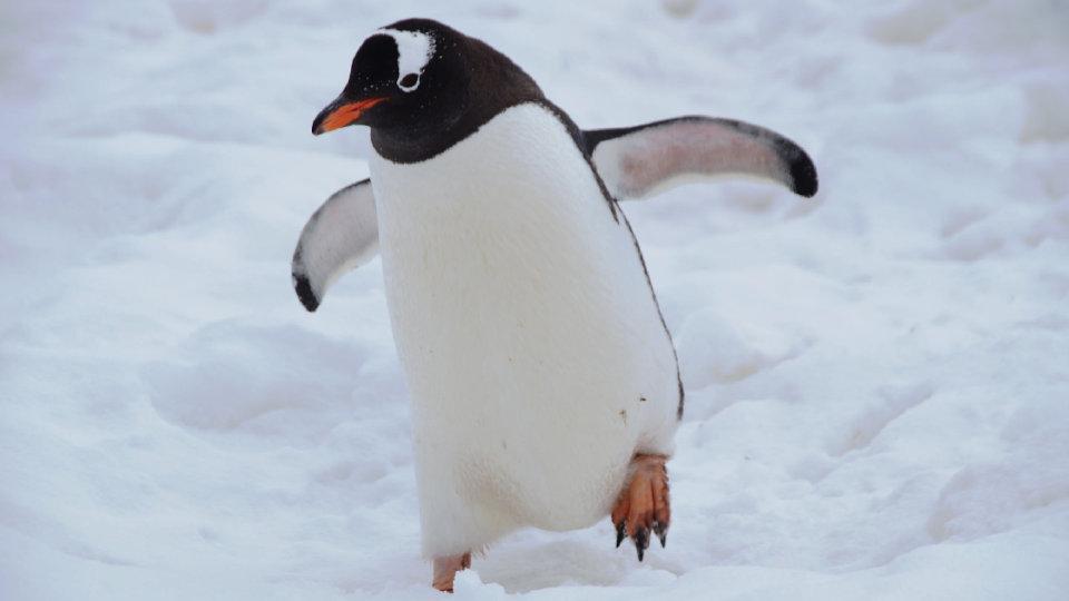 羽を広げたペンギン